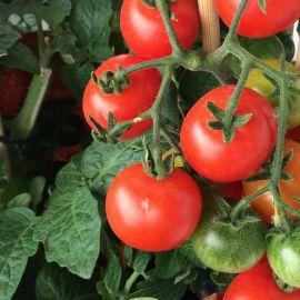 Девис 82 семена томата дет. окр. 70-80 гр. (Hortus)