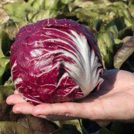Васари семена цикория кочанного 75 дн. (Bejo)