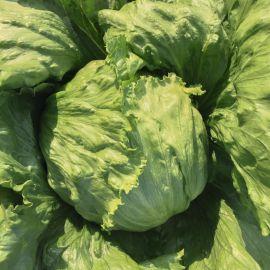 Бизнес семена салата кочанного 50-55 дн. (Bejo)