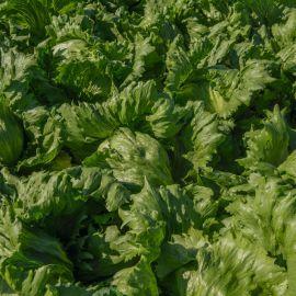 Бизнес семена салата кочанного тип Айсберг 50-55 дн. зел. (Bejo)