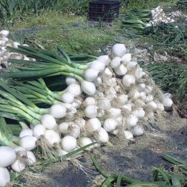 Айсперл F1 (Normal) семена лука репчатого среднего 100-105 дн. белого (Bejo)
