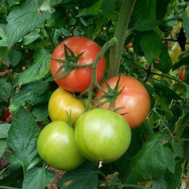 Максин F1 (27614 F1) семена томата индет. раннего 200-210 гр (Vilmorin)