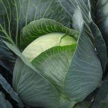 Бруно F1 семена капусты б/к средней 80 дн. (Bejo)