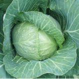Алтос F1 семена капусты б/к ранней 58-60 дн. 1,5-1,8 кг (Joeun Seeds)