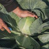 Калуга F1 семена капусты б/к поздней 130 дн. (Bejo)