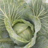 JS 83 F1 семена капусты б/к средний 85-90 дн. 1,3-1,7 кг (Joeun Seeds)