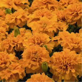 Маленький герой оранжевый семена бархатцев раскидистых однол. (Benary)