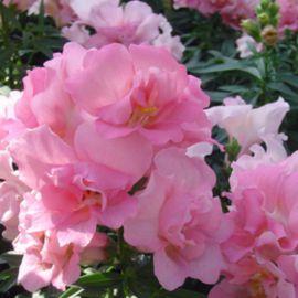 Твинни F1 розовый семена антирринума карликового махрового однол. (Hem Genetics)