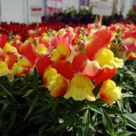 Снеппи F1 оранжево-желтый семена антирринума карликового однол. (Hem Genetics)