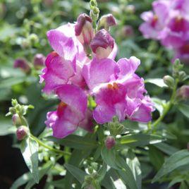 Снеппи F1 лиловый семена антирринума карликового однол. (Hem Genetics)