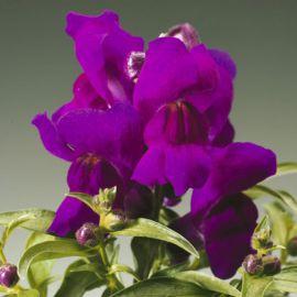 Монтего F1 фиолетовый семена антирринума карликового однол. (Syngenta)