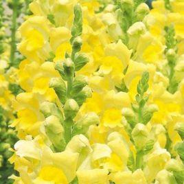 Увертюра F1 желтая семена антирринума однол. (Syngenta)