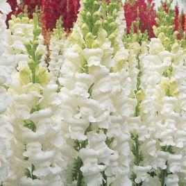 Опус F1 белый семена антирринума однол. (Syngenta)