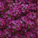 Кристалл пурпурный семена алиссума (лобулярии, каменника) однол. (Pan American)