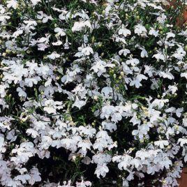 Регатта белая семена лобелии каскадной (Pan American)