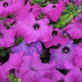 Танго F1 фиолетовая семена петунии дражированные (Hem Genetics СДБ)