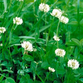 Сильвестр семена клевера белого декоративного (Украина)