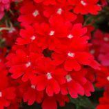 Обсешн F1 красная семена вербены гибридной (Syngenta)