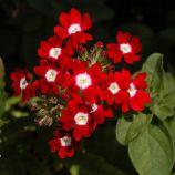 Обсешн F1 красная с глазком семена вербены гибридной (Syngenta)