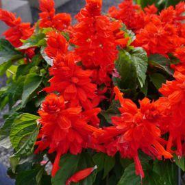 Редди красная семена сальвии (Hem Zaden ПН)