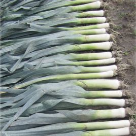 Бандит семена лука порей позднего 140дн. сине-зеленого (Bejo) СНЯТО С ПРОИЗВОДСТВА