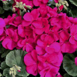 Мультиблум F1 фиолетовый семена пеларгонии (Syngenta)