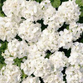 Мультиблум F1 белый семена пеларгонии (Syngenta)
