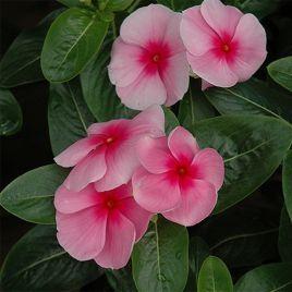 СанШторм F1 розовый с глазком семена катарантуса (Syngenta)