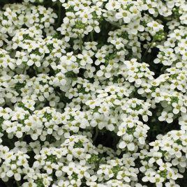 Айскьюб белый семена гутчинзии многолетн. (Syngenta)