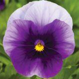 Пенни F1 беаконсфилд семена виолы (Syngenta)