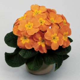 Пионер F1 оранжевый семена примулы (Hem Genetics)