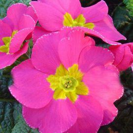 Пионер F1 розовый семена примулы (Hem Genetics)