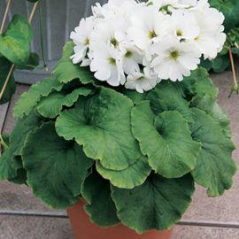 Либре F1 белая семена примулы (Syngenta)