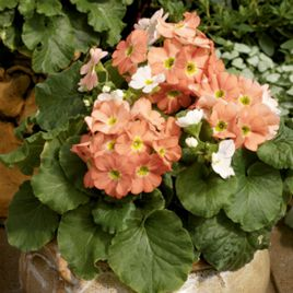 Либре F1 оранжевая семена примулы (Syngenta)