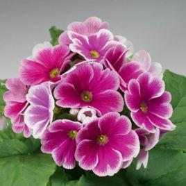 Либре F1 розовое пикоте семена примулы (Syngenta)