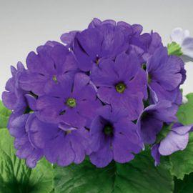 Либре F1 темно-синей семена примулы (Syngenta)