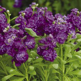Хот Кейк пурпурный семена левкоя (Pan American)