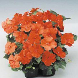 Баланс F1 оранжевый семена бальзамина однол. (Hem Genetics)