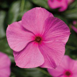 Кора Каскад F1 лиловый семена катарантуса ампельного (Syngenta)