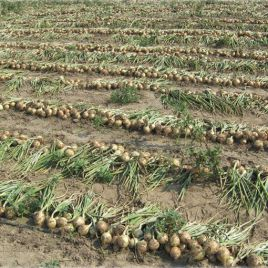 Дерби F1 (Normal) семена лука репчатого раннего 90-95дн (Bejo)