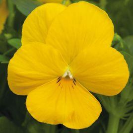 Пенни F1 желтая семена виолы (Syngenta)