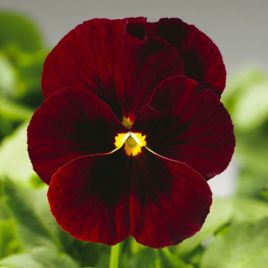 Пенни F1 красная с глазком семена виолы (Syngenta)