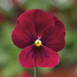 Пенни F1 розовая с глазком семена виолы (Syngenta)