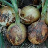 Дерби F1 семена лука репчатого (Bejo)
