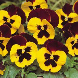Феникс красно-желтый семена виолы виттрока (Hem Genetics)