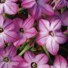 Саратога F1 пурпурный биколор семена табака крылатого (Syngenta)
