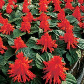 Алерт красный семена сальвии (Hem Genetics)