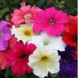 Кобаяши Формула Миксд (Formula Mixed) семена петунии крупноцветковой дражированные (Kitano Seeds)