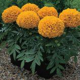 Антигуа F1 оранжевый семена бархатцев (Syngenta)