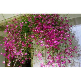 Регатта розовая семена лобелии каскадной (Pan American)